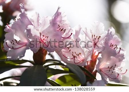 Backlight pink Rhododendron flowers in spring - stock photo