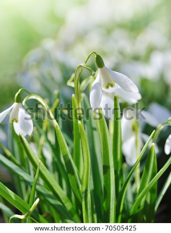 backlighting with spring sun snowdrops - stock photo