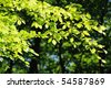 Backlit branch of a beech tree in a wood - stock photo