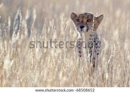 Backlit Cheetah - stock photo