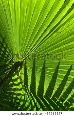 Backlit fan palm leaf showing a silhouette of another leaf - stock photo