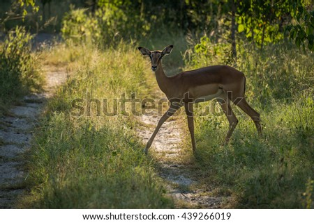Backlit female impala crossing track in woods