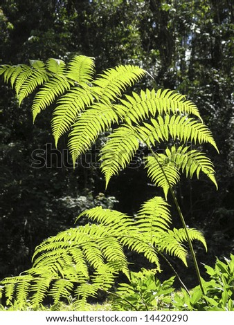 Backlit fern fronds - stock photo
