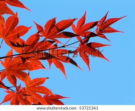 Backlit Japanese Maple Leaves against blue sky - stock photo