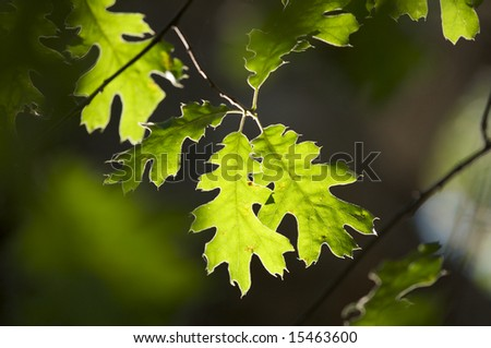 Backlit Oak Leaves with narrow depth of field. - stock photo