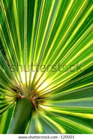 Backlit Palm Leaf  - stock photo
