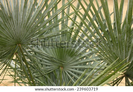 Backlit Palmetto Palm Fronds Background - stock photo