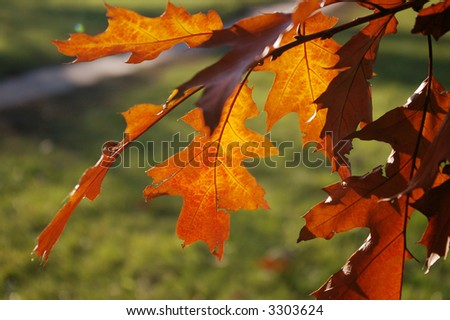 Backlit pin oak tree leaves with vibrant brown reds over green background - stock photo