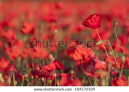 Backlit poppies in a field - stock photo