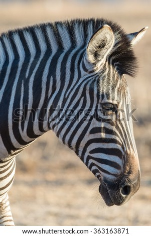 Backlit portrait of Zebra from the side