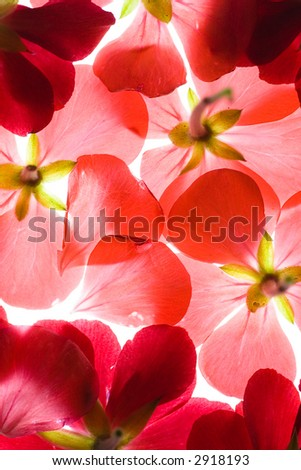 Backlit Red Flower Petals Background - stock photo