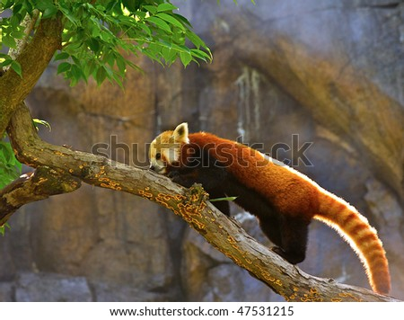 Backlit Red Panda (taxonomic name: Ailurus fulgens).  It is a small mammal and is protected by law in all countries where it lives. - stock photo