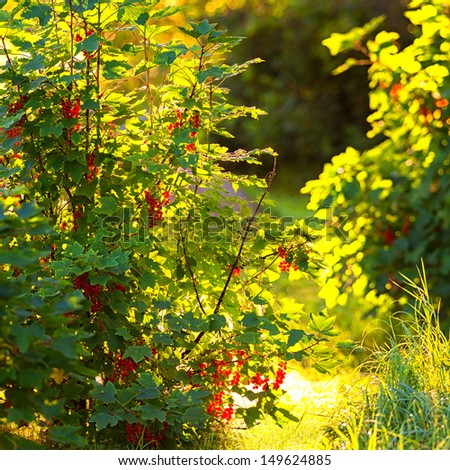 Backlit Redcurrant bush during a summer day - Ribes Rubrum - stock photo