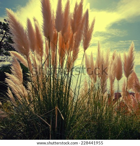 backlit reed on sky background. Landscape from Portugal, square toned image - stock photo