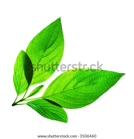 backlit shot of a fresh green leaves on a white background