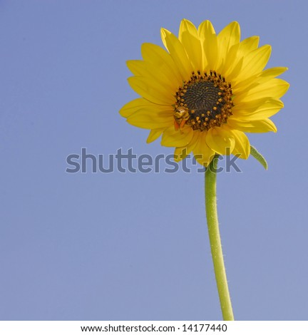 backlit sunflower with bee approaching.  Bee's legs are packed with pollen.  Copy space included - stock photo