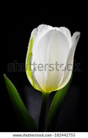 Backlit White Tulip/White Tulip/White Tulip Glow - stock photo