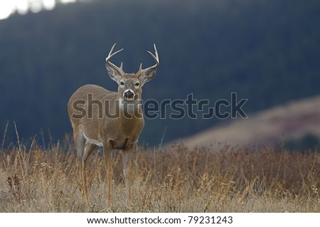 Backlit Whitetail Buck Deer in grasslands, with forested mountain background - stock photo