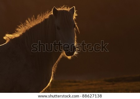 Backlit wild welsh pony on the Isle of Anglesey North Wales