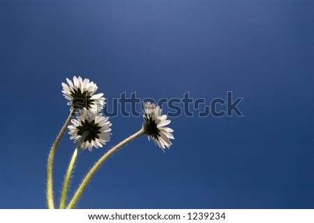backside daisies against blue backdrop