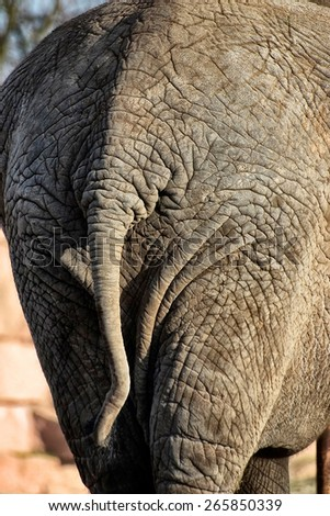 Backside of an african Elephant                           - stock photo