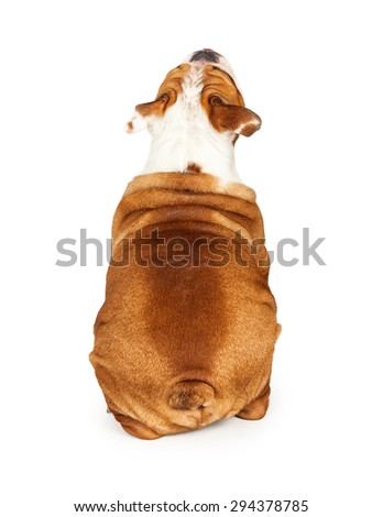 Backside view of a Bulldog breed dog sitting and looking up. Add your product to have him look at it. - stock photo