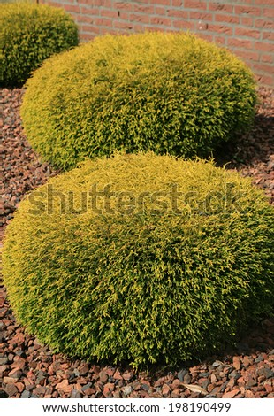 backyard in the Netherlands, trimmed Thuja - stock photo