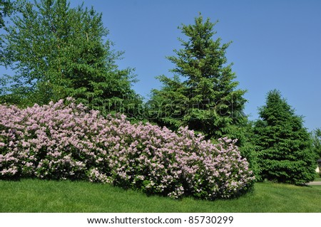 Backyard Landscaping with Pink Lilacs and Trees - stock photo