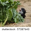 backyard self sufficiency - organic gardening green spinach silverbeet and foraging birchen hen bantam - stock photo