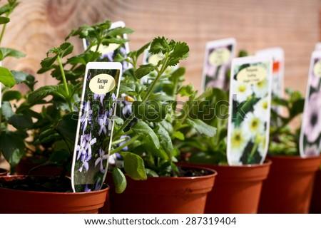 stock-photo-bacopa-plant-pot-garden-cent