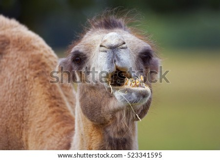 Bactarian Camels Camelus bactrianus eating