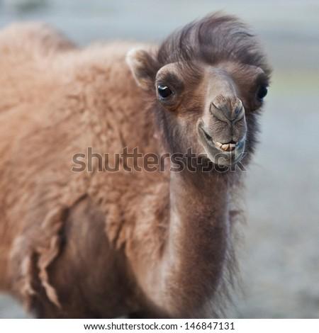 Bactrian Camel in desert of Nubra valley, Ladakh, North India - stock photo