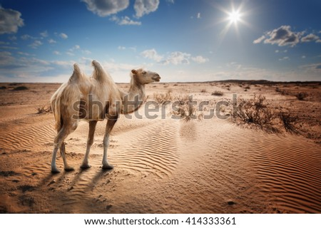 Bactrian camel in the desert under a blue sky with clouds and sun - stock photo