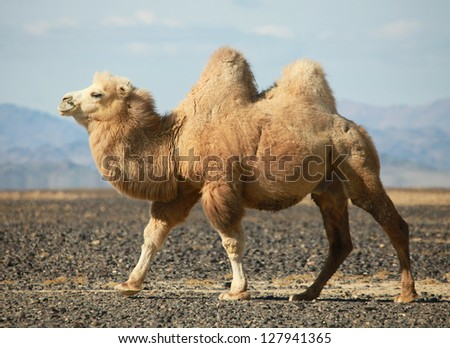 Bactrian camel in the steppes of Mongolia. True to transport a nomad - stock photo