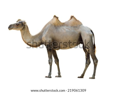 Bactrian camel isolated on white - stock photo