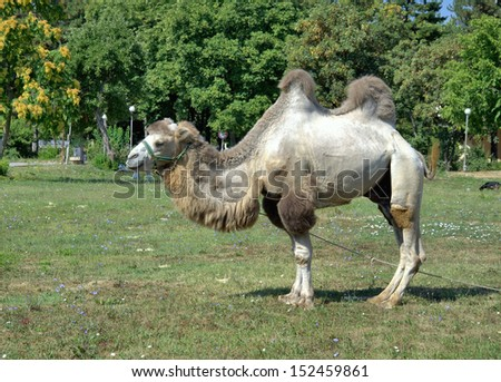 Bactrian camel standing on a meadow  - stock photo
