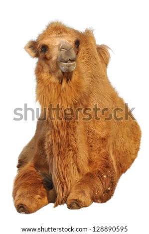 Bactrian camels have two humps rather than the single hump of their Arabian relatives. - stock photo