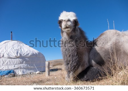 Bactrian camels is from the Mongolian yurt - stock photo