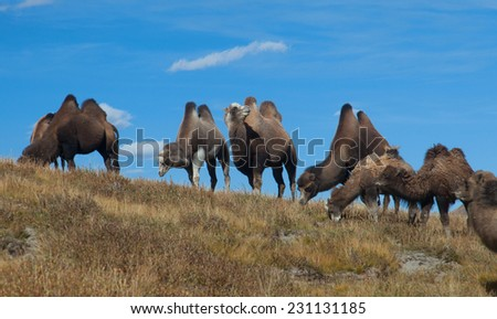 Bactrian camels on the background of blue sky - stock photo