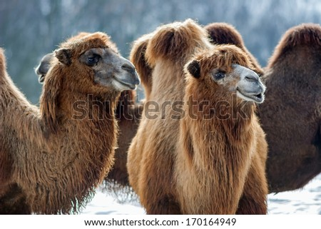 Bactrian Camels walks in the snow - stock photo