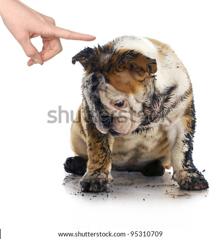 bad dog - dirty sad english bulldog being scolded by wagging finger - stock photo