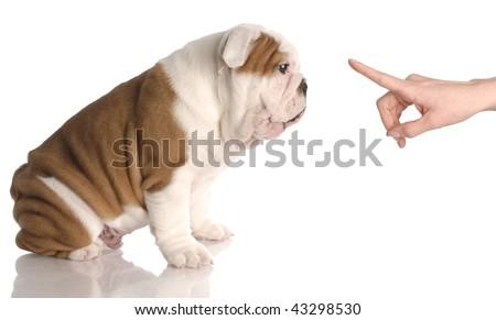 bad dog - persons hand wagging finger at nine week old english bulldog puppy - stock photo