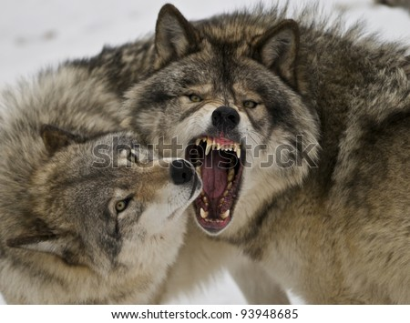 Bad Wolf Day - stock photo