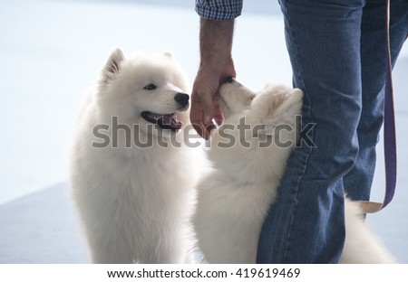 Badajoz, Spain - May 8, 2016: 32 International Exhibition Ed. of dogs. Smiling Sammy dogs under the care of its owner before the exhibition contest - stock photo