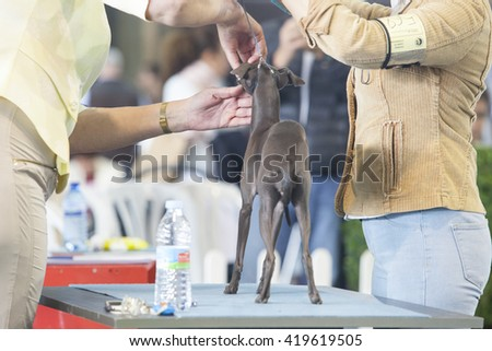 Badajoz, Spain - May 8, 2016: International Exhibition of dogs. Italian Greyhound under the care of their owners before the exhibition contest - stock photo