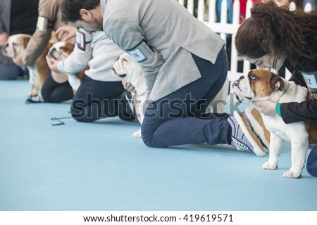 Badajoz, Spain - May 8, 2016: International Exhibition of dogs. Owners on court with British Bulldogs - stock photo