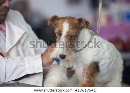 Badajoz, Spain - May 8, 2016: International Exhibition of dogs. Welsh Terrier under the care of its owner before the exhibition contest - stock photo