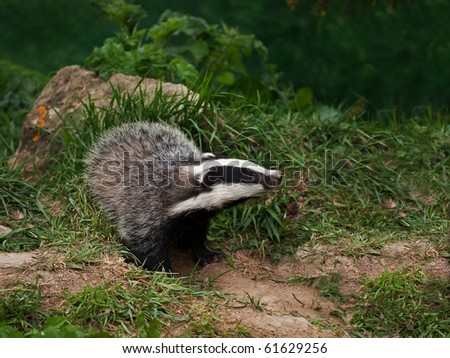 Badger Cub in English countryside - stock photo