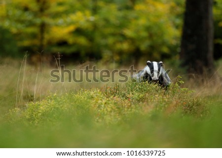 Badgers stock images royalty free images vectors Habitat deutschland