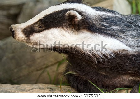Badger (meles meles) close up of head. Out in the daytime